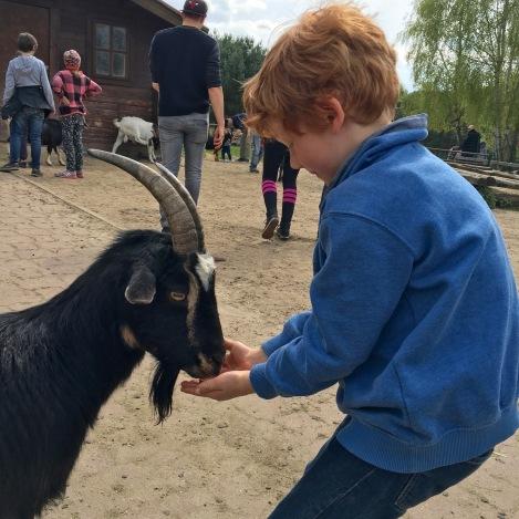 Kind beim Ziegenfüttern in Germendorf